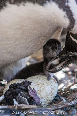 A baby Magellan penguin watches as his sibling is born