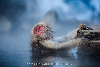 Japanese Snow Monkeys